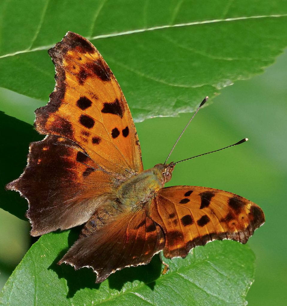 Wegener Question Mark Butterfly