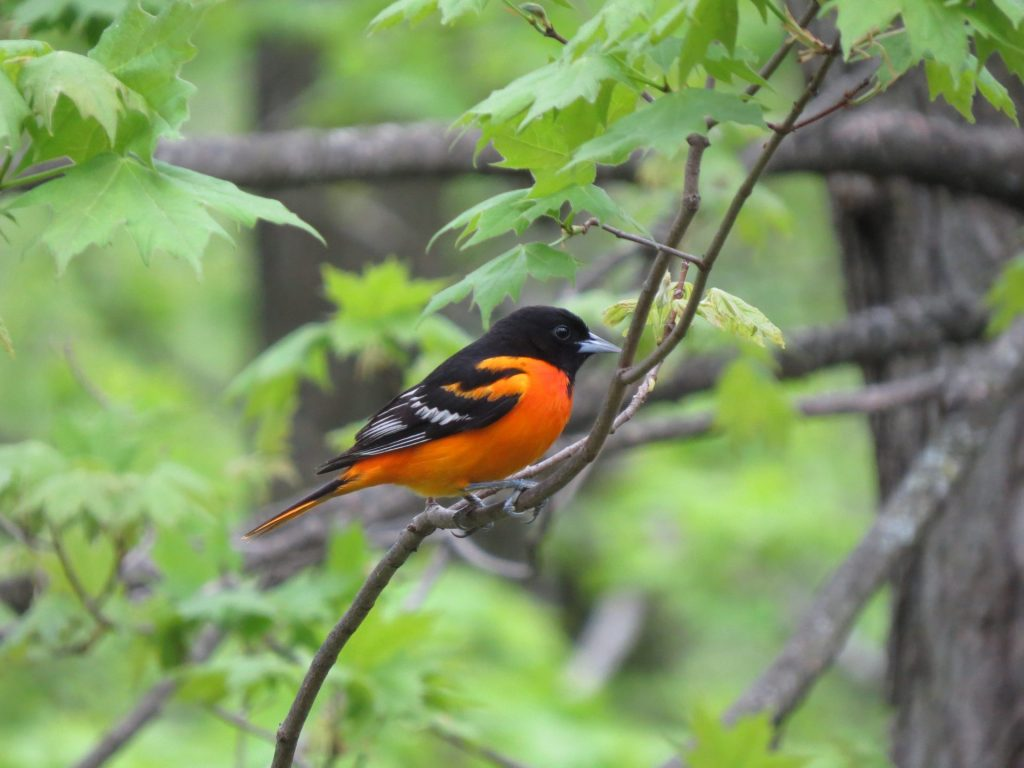 oriole on branch 005